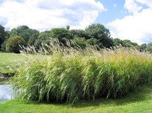 Gratis stock fotos rgbstock gratis afbeeldingen reed bush in